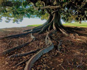 Types of Invasive Tree Roots